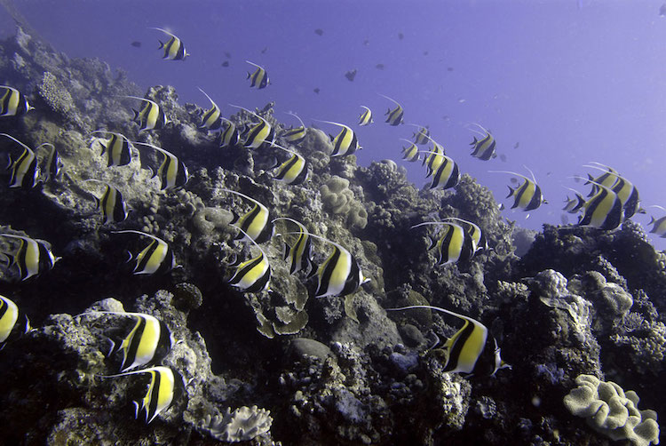 A school of Moorish Idols cruise over the coral reef, Ha'apai, Tonga. Credit: UNEP GRID Arendal/Glenn Edney