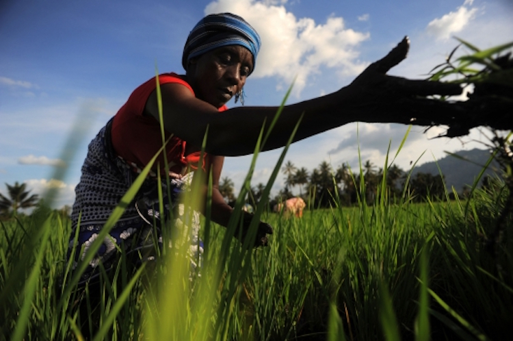 Photo: A farmer in Tanzania in a rice paddy, which uses a climate-smart system to intensify production.