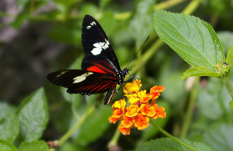 Photo: Heliconius doris Linnaeus butterfly of Costa Rica. Credit: Wikimedia Com-mons.