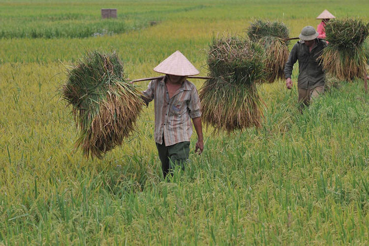 Photo: Harvesting rice in Viet Nam. Global rice consumption trends are rising. Photo: FAO/Hoang Dinh Nam