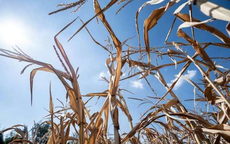 Photo: A dried cornfield is pictured on August 6, 2018 in Mitschdorf, eastern France, as a heatwave sweeps across Europe. Credit: phys.org